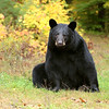 Wild Black Bear Sow in Ontario, Canada.