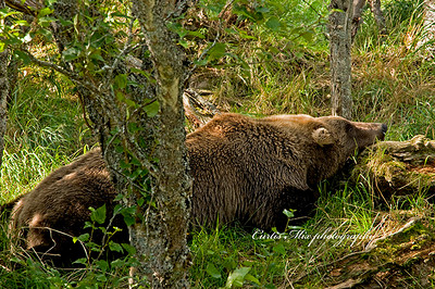 This brown bear caught a large salmon. After eating all the choice parts he went through every posable position to get comfortable. Then he went to sleep.