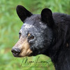 Wild Black Bear with white paint on her face.  Photo taken in Ontario, Canada.