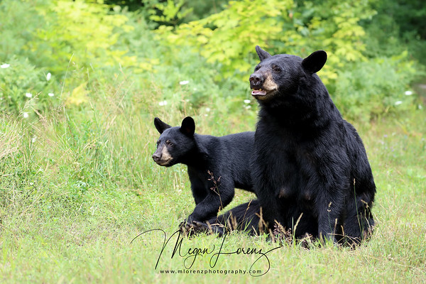 Wild Black Bear Sow and her cub in Ontario