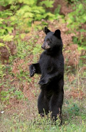 Black Bear Cub standing on hind legs.