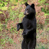 Black Bear Cub standing on hind legs.