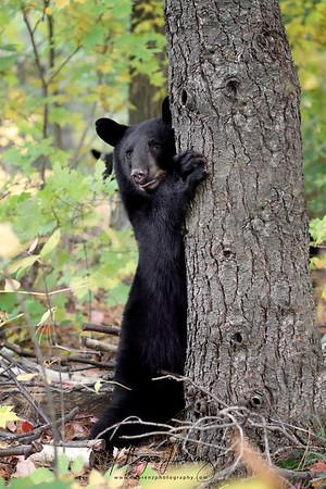 Black Bear Cub in Ontario, Canada