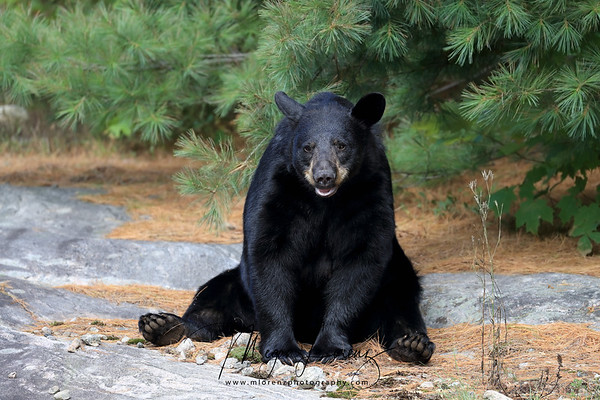 Wild Black Bear in Ontario, Canada