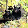 Wild Black Bear Sow and her cub in Ontario, Canada