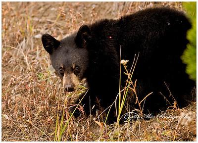 Baby black bear.
