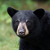 Young Black Bear in Ontario, Canada