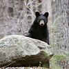 Wild Black Bear Yearling in Ontario, Canada.