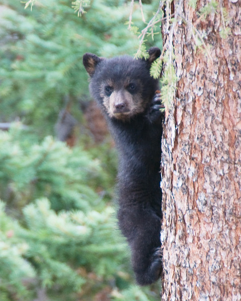 Black Bear Cub, near Tower Falls, YNP