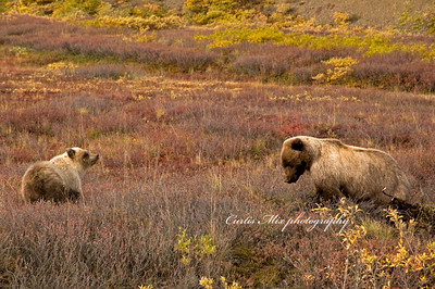 A grizzly bear cub takes a ground squirrel digging lesson from mom.