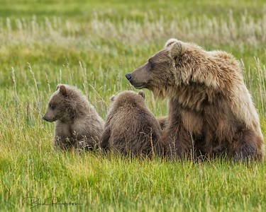 Alaskan brown bear (Ursus arctos) and cubs - Silver Salmon Creek, Lake Clark National Park, Alaska