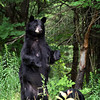Wild Black Bear Sow standing on her hind legs in Ontario, Canada