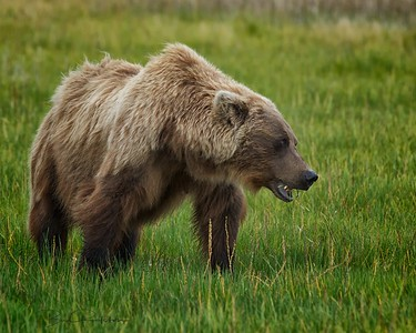 Alaskan brown bear (Ursus arctos)  - Silver Salmon Creek, Lake Clark National Park, Alaska