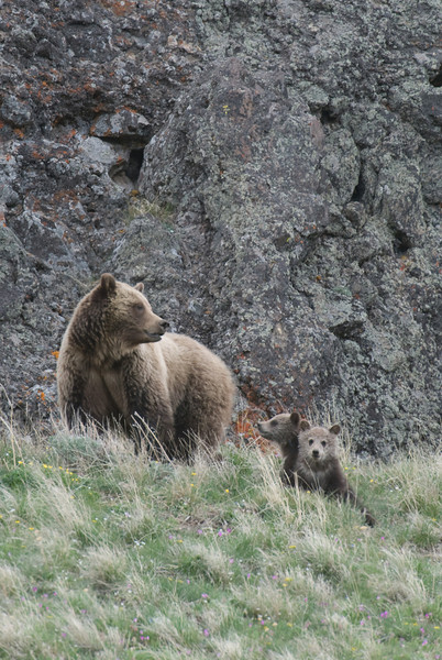 Grizzly sow and cubs, Dunraven Pass, YNP