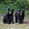 Two Black Bear Cubs in Ontario, Canada.