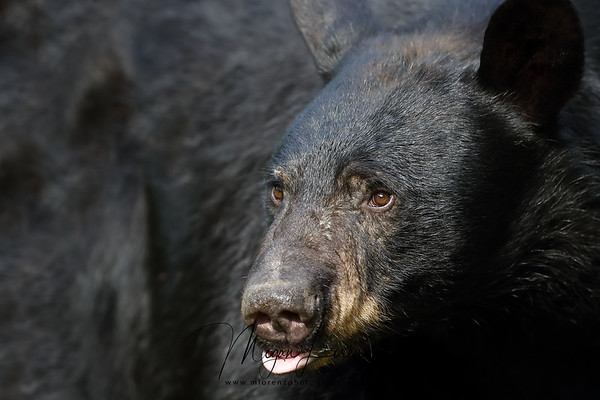 Black Bear Sow in Ontario, Canada