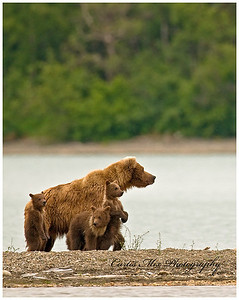 Watching for other bears.