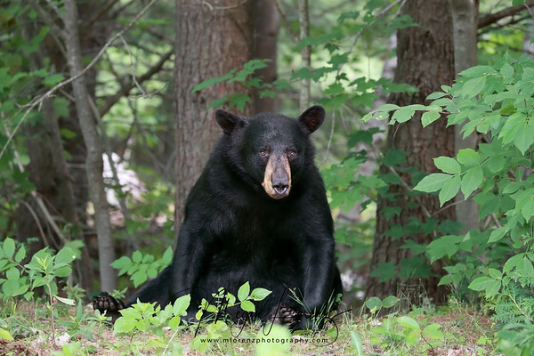 Nervous angry bear in Ontario, Canada.  Head the warning signs.