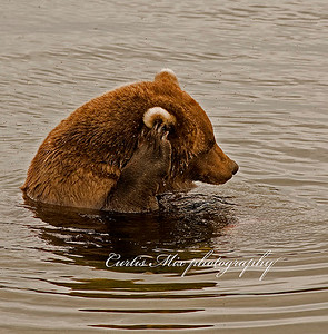 Careful. A brown bear delicately scratches his ear in a swarm of flying insects.