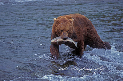 A brown bear catches a salmon in the Brooks river.