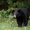 Wild Black Bear Yearling (Male) in Ontario, Canada