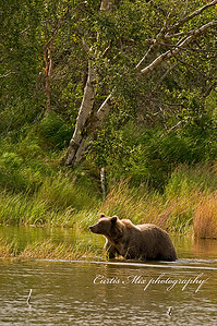 A brown bear wades out to the fishing hole.