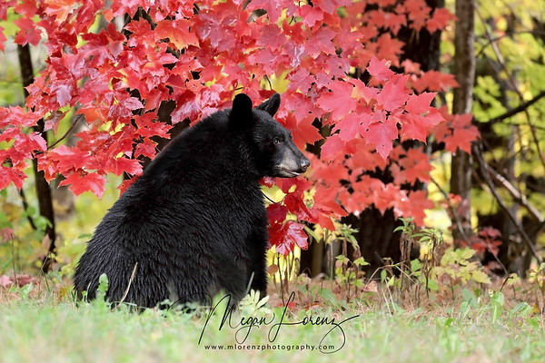 Black Bear Cub and red autumn leaves in Ontario, Canada