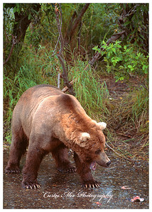 Stand your ground. The dominant male brown bear threatens a rival near his fishing hole. The other bear backs down.