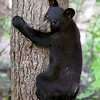 Black Bear Cub coming down from a tree in Ontario, Canada.