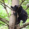 Wild Black Bear in a tree in Ontario, Canada.