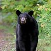 Wild Black Bear in Ontario, Canada.