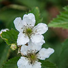 Blooming Blackberry Bush