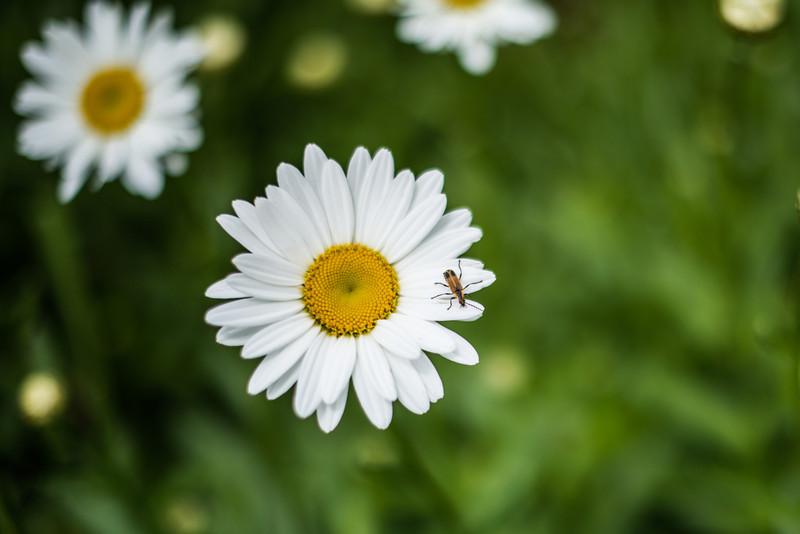 Daisies/ Chamomiles