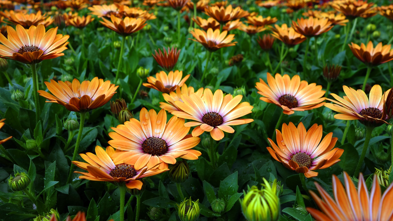 Field of African Daisies?