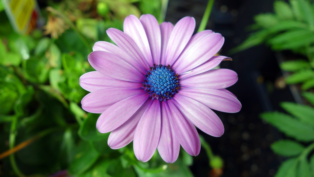 Lavender African Daisy