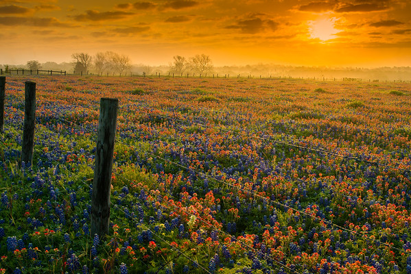 Texas Wildflowers at Sunrise Along a Fence