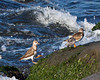 Ruddy Turnstone on the Shoreline of Ocean City MD