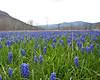 Field of Grape Hyacinth Near Columbia Furnace Virginia