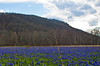 Field of grape hyacinths near Columbia Furnace