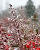 ice storm and burning bush