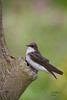 CVNP Beaver Marsh Tree Swallow 2