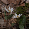 Blooming blood root along trail