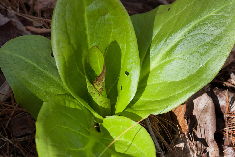 An emerging skunk cabbage in the wetland