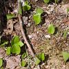 Emerging canada mayflower