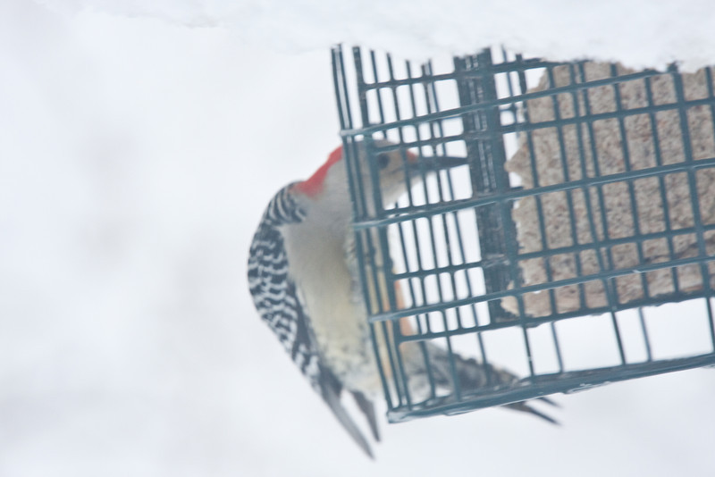 Red Belly Woodpecker on Suet Feeder during Snowstorm