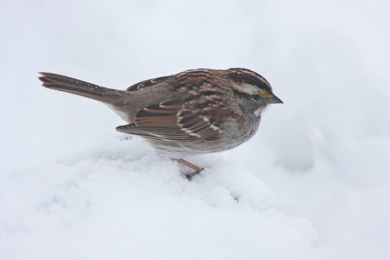 White throated sparrow - house guest from the Green Mountains