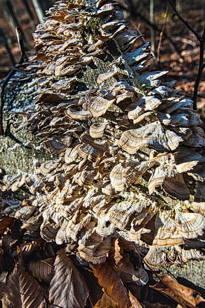 Bracket fungus on fallen log
