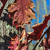 Oak leaves along South Loop