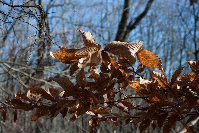 Dead Beech Leaves on West Loop Trail