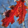 Oak leaves along South Loop